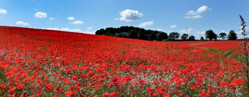 poppy_fields